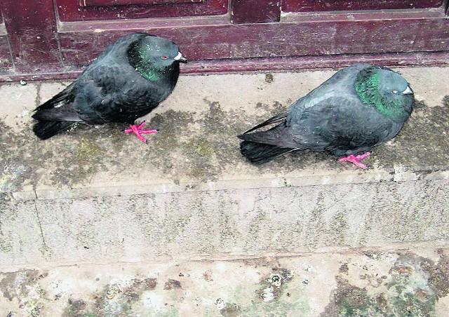 Tak wyglądają oświęcimskie kamienice po ataku gołębi