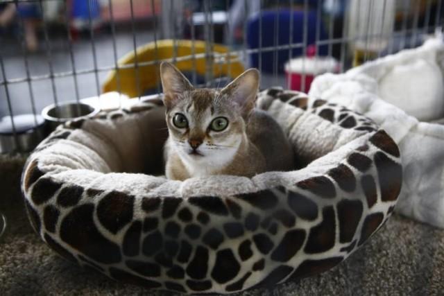8 i 9 września 2018 roku w Hali Gier Akademii Wychowania Fizycznego w Warszawie przy ul. Marymonckiej 34, odbędzie się Międzynarodowa Wystawa Kotów Rasowych. Miłośnicy tych czworonożnych istot nie będą zawiedzeni - tylu ras w jednym miejscu nie zobaczą w końcu nigdzie indziej.