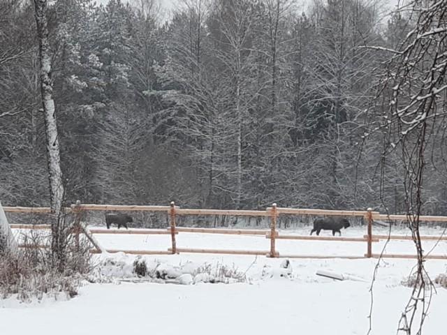 Żubrzyca z kilkumiesięcznym bykiem przyjechały z Nadleśnictwa Borki w województwie warmińsko-mazurskim we wtorek