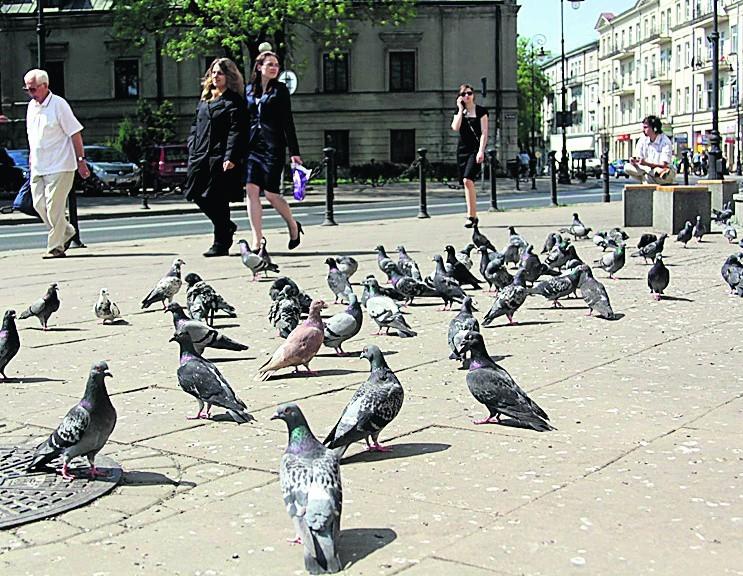 Za dokarmianie gołębi na pl. Wolności można dostać mandat