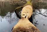 Dziś Dzień Bobra. Nad Słupią mieszkają liczne bobrze rodziny