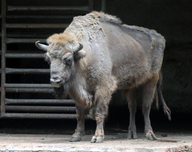 Żubr - największy, współcześnie żyjący ssak Europy. Żubr zamieszkuje lasy mieszane, zawsze w pobliżu bagien, rzek lub zbiorników wodnych. Jest roślinożerny. Osiąga do 2 m wysokości w kłębie, długość ciała wynosi od 2,4 do 3,5 m, ogona do 80 cm, ciężar największych osobników (byków) może przekraczać 1000 kg. Ogromny, raczej powolny, ale ciekawski i mało płochliwy.