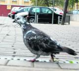 Pruszcz Gd.: Czy ktoś truje gołębie?