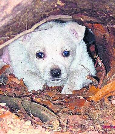 Pieski zamieszkały w lisiej norze, bo tam porzuciła je matka