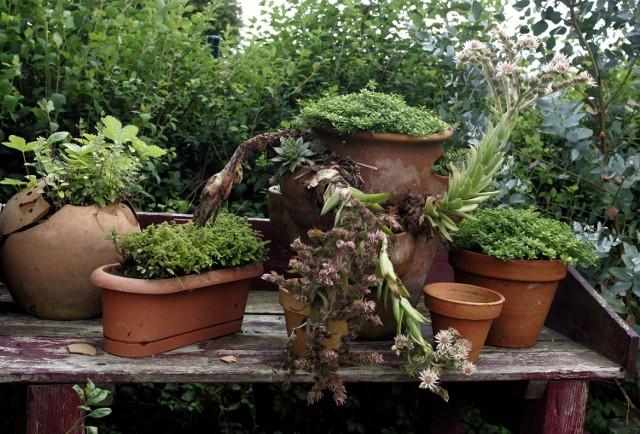 Zioła możemy wysadzić w donicach, podobnie jak inne rośliny