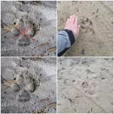 Wilki się przemieszczają. Mogą również przechodzić tuż obok domów. To dzikie zwierzęta, dlatego należy zachować ostrożność