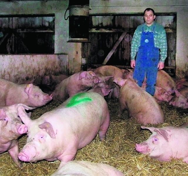 Marek Klin stracił w czasie awarii co piątą świnię w stadzie