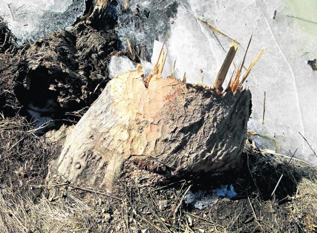 Nawet grube drzewa nad Motławą padają, ścięte przez bobry