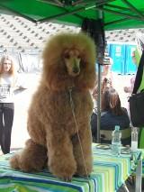 Wystawa psów Świętochłowice: raj dla miłośników czworonogów