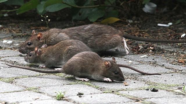 Rodzice dzieci chcieliby mieć pewność, że ich pociechy nie spotkają szczura w okolicy przedszkola