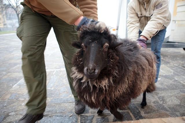 Do szopki pod katedrę dotarły już oślica Patrycja i dwie owce wrzosówki: Mela i Agatka.
