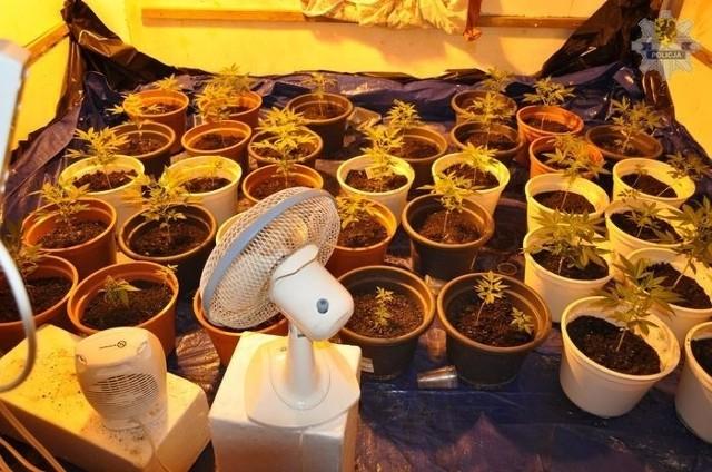 Plantacja marihuany była przygotowana profesjonalnie
