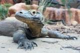 Stare Zoo: Smoki z Komodo już na nowym wybiegu (zdjęcia)