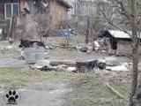 Gmina Wierzchosławice. Pies żył w skandalicznych warunkach. Łańcuch wrósł mu w szyję. Interweniowali Animalsi wraz z policją [ZDJECIA]