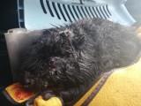 Strażnicy miejscy w Inowrocławiu po sygnale od mieszkańca uratowali rannego bobra [zdjęcia]