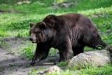 Mazowieckie. Policja dostała zgłoszenie o niedźwiedziu leżącym na jezdni. Finał sprawy był zaskakujący