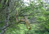 """Węże w polskich lasach! """"Ten rzadki gatunek potrafi doskonale się wspinać po drzewach"""" [zdjęcia]"""