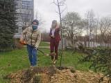 Jastrzębie: uczniowie Korfantego posadzili drzewo. Upamiętnili w ten sposób III Powstanie Śląskie i swojego patrona