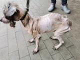 Tak ludzie traktują zwierzęta. Brak słów... Pies w tragicznym stanie został odebrane właścicielce (uwaga, drastyczne zdjęcia)
