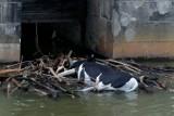 Poruszenie we Wrocławiu. Mieszkańcy zauwazyli w Odrze zauważyli martwą krowę! O co chodzi?