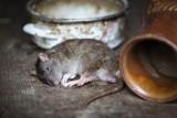 Szczury w domach. Mieszkańcy dzielnicy profesorskiej w Opolu proszą o pomoc