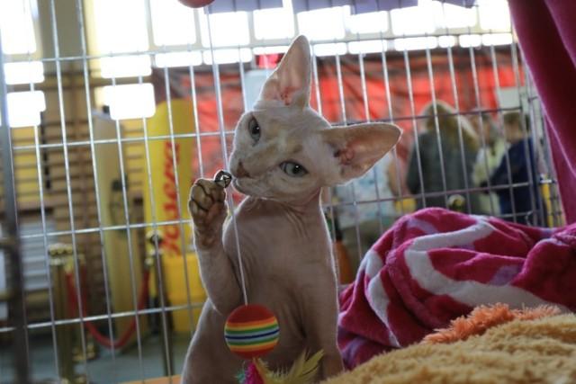 W Szkole Podstawowej nr 16 przy ulicy Dziewulskiego w Toruniu odbywa się Międzynarodowa Wystawa Kotów Rasowych. Impreza potrwa dwa dni.  Oprócz kocich piękności jak zawsze znajdziemy na wystawie stoiska handlowe z karmą i akcesoriami do hodowli kotów.  Swoje miejsce do zabawy znajdą również najmłodsi. W sobotę wystawa będzie czynna do godziny 19. W niedzielę w godzinach  10-17.   Zobacz także:  Gwiazdy zaśpiewają na koncercie wolności w Toruniu