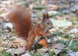 Strażacy uratowali uwięzioną w ogrodzeniu wiewiórkę
