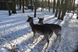 Park Kuronia w Sosnowcu zimą. To dobre miejsce na miły spacer ZDJĘCIA