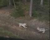 Atak wilków w Czaplinku! Zagryzły owce w skansenie historycznym
