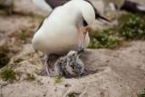 """Najstarszy ptak świata, 65-letnia """"Mądrość"""" ponownie została mamą! [ZDJĘCIA]"""