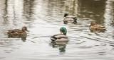 Strażacy ratowali rodzinę kaczek. Akcja zakończona sukcesem