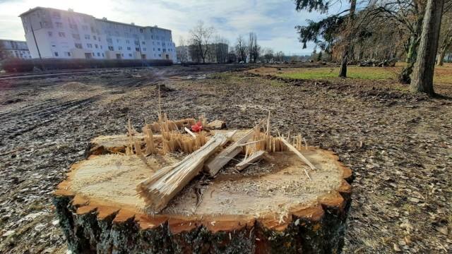 Ile w Gorzowie wycina się drzew, a ile sadzi? Sprawdziliśmy. Bilas wychodzi - niestety - na minus