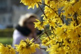 W Legnicy jest już wiosna, miasto wygląda zjawiskowo.  [ZDJĘCIA]