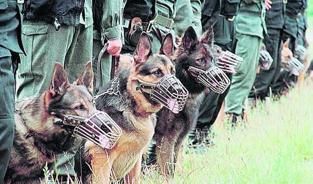 Zanim zaczną służbę na ulicy, psy policyjne przechodzą specjalistyczne szkolenie