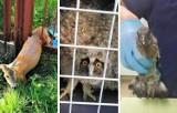 Inowrocław. Te zwierzaki udało się uratować dzięki zgłoszeniom mieszkańców do Straży Miejskiej w Inowrocławiu. Zdjęcia