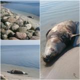 Martwa foka na plaży w Kuźnicy. Zatoka Pucka wyrzuciła na piasek ciało morskiego ssaka. Był chory? | DRASTYCZNE ZDJĘCIA