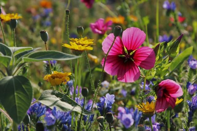 Łąki kwietne mają wiele zalet. Po pierwsze – są piękne. Kwitnące w nich kwiaty będą pojawiać się przez cały sezon, zdobiąc ogród. Poza tym łąka wymaga znacznie mniej pracy niż trawnik – przede wszystkim niemal nie trzeba jej kosić (robi się to najczęściej dwa razy w roku). A to oznacza i zaoszczędzony czas, i energię potrzebną do zasilania kosiarki.  Łąka wymaga też znacznie mniejszych ilości wody niż tradycyjny trawnik. W dodatku jeśli dobrze dobierzemy rośliny, będą pięknie wyglądały również w tych miejscach, gdzie nigdy nie uda się stworzyć pięknego trawnika, np. w cieniu czy na nasłonecznionej, suchej ziemi. Nie bez znaczenia jest to, że skorzystają z nich owady zapylające, m.in. pszczoły i trzmiele.  Zakładając łąkę kwietną w ogrodzie nie musimy dokonywać radykalnych wyborów: łąka albo trawnik. Możemy zacząć od kawałka ogrodu, pozostawiając tradycyjny trawnik tam, gdzie nadal chcemy go mieć.