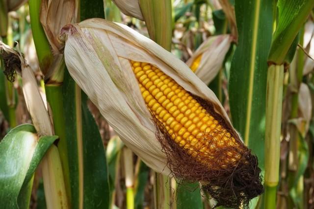 BMW zakończyło podróż na polu kukurydzy