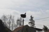 Pierwszy bocian w Starym Mieście już zajął swoje gniazdo