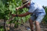 Arbuzy i winna latorośl pięknie owocują pod Szczecinkiem. Winobranie 2021 [zdjęcia]