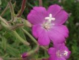 Rośliny dziko rosnące: Kwiaty polne na przydrożnych rowach, łąkach. polach, lasach [FOTOGALERIA]