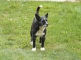 Kto rozpoznaje psa? Błąka się w Sztumskim Polu