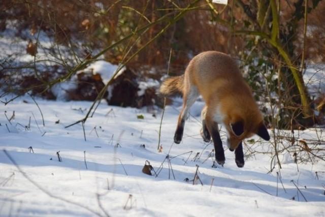 Lis w Ogrodzie Botanicznym UJ