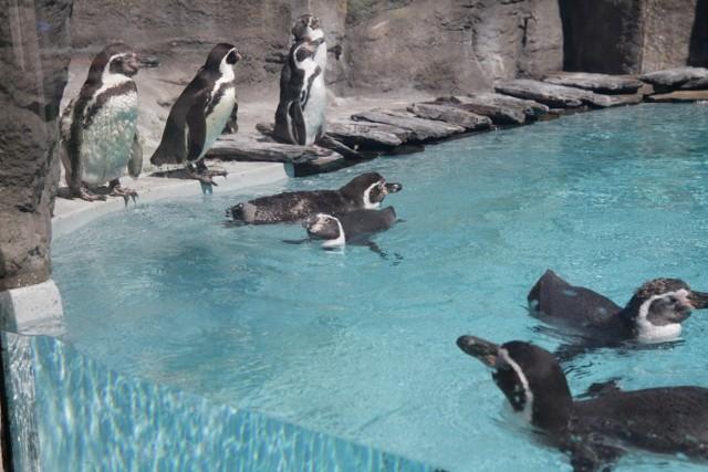 Pingwiny wróciły na wybieg zewnętrzny śląskiego zoo. Piękna pogoda przyciąga spacerowiczów do zoo i do Parku Śląskiego.   Zobacz kolejne zdjęcia. Przesuwaj zdjęcia w prawo - naciśnij strzałkę lub przycisk NASTĘPNE