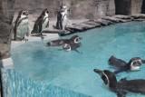 Pingwiny wróciły na wybieg Śląskiego Ogrodu Zoologicznego. Zobaczcie ZDJĘCIA wesołej gromadki pingwinów Humboldta