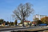 Opole. Ekolodzy alarmują, że drzewa na terenie miejskich inwestycji nie są właściwie zabezpieczane i przez to obumierają. Co na to ratusz?