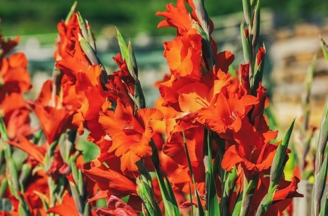 Gladiole nazywane też mieczykami to jedne z piękniejszych kwiatów lata. Ich strzeliste, sztywne, wysokie kwiatostany (1-1,5 m) górują nad rabatą i zachwycają wspaniałymi kwiatami w atrakcyjnych kolorach. Sprawdzają się jako górne piętro rabaty, ale są też doskonałe na kwiat cięty. Niższe odmiany dobrze wyglądają posadzone w grupach lub w kompozycjach z innymi roślinami. W ogrodach najczęściej uprawianym gatunkiem mieczyka jest mieczyk ogrodowy, którego wyszukane, barwne kwiaty, zebrane na sztywnej, wysokiej łodydze w kłosowaty kwiatostan osiągają nawet 10-12 cm średnicy. Jeśli jednak chcemy się ich doczekać, o roślinę musimy odpowiednio zadbać i poznać jej zwyczaje.