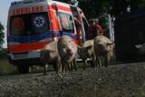Wypadek tira wypełnionego świniami (ZDJĘCIA)