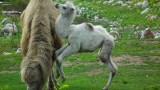 Poznań: Nowe Zoo ma białą wielbłądzicę [ZDJĘCIA FILM]