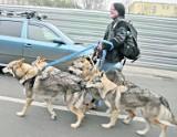 Chipowanie psów wkrótce może być obowiązkowe